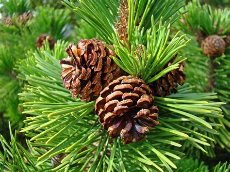 tree with pine cones pine tree prints pine cones green forest baslee