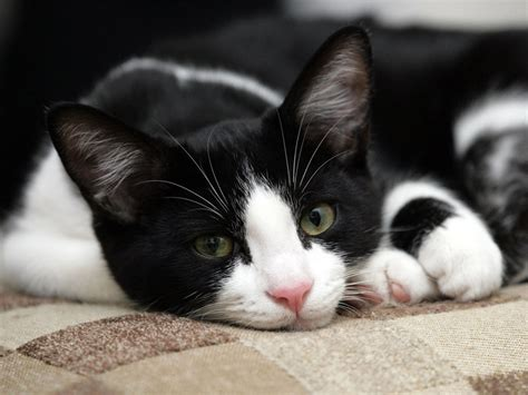 black and white cat cats images black white cat hd wallpaper and background