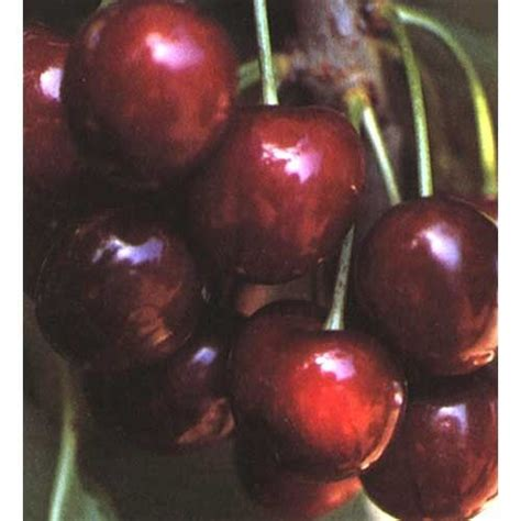cherry tree b b ballyconnell 17 best images about cherry trees on trees prunus and cherries