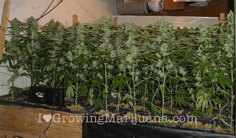 marijuana grow journal nlx 1 7 kilo yield