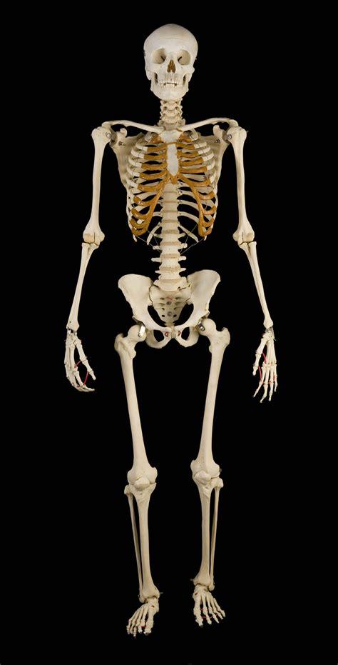 a skeleton written in bone human skeleton