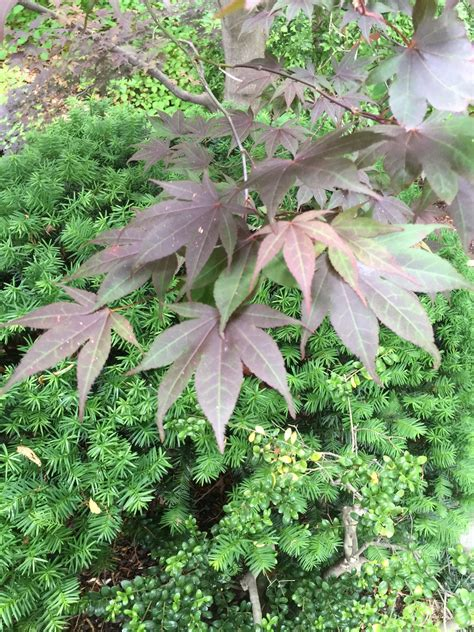 maple tree when to plant japanese maple companion plants images