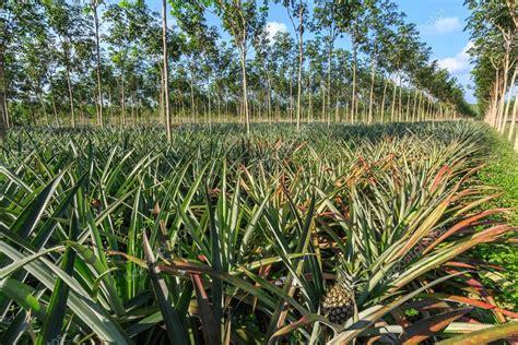 pineapple rubber st 193 rbol caucho y plantaci 243 n de pi 241 a fotos de stock