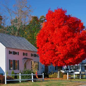 maple tree zone maple trees for sale fast growing trees