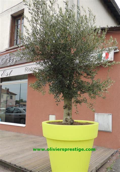 oliviers prestige vente oliviers grand choix toutes formes