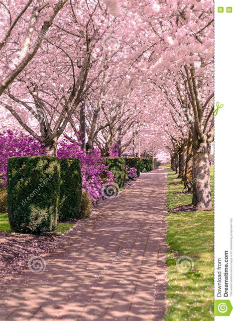 cherry blossom trees in bloom stock image image 79515075