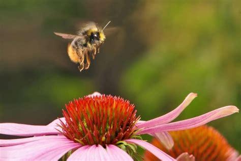 Der Bienenfreundliche Garten by 15 Bekannte Und Bienenfreundliche Pflanzen F 252 R Garten Oder