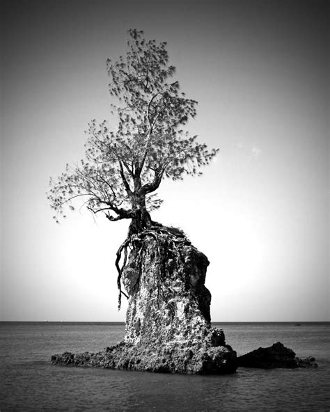 rock the tree panoramio photo of quot endurance quot tree on rock in agat bay