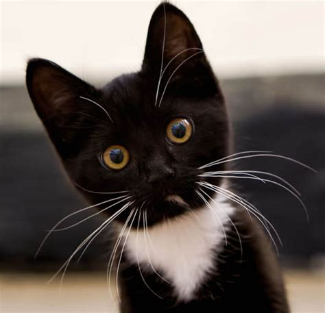 black and white cat black white beautiful all with cats