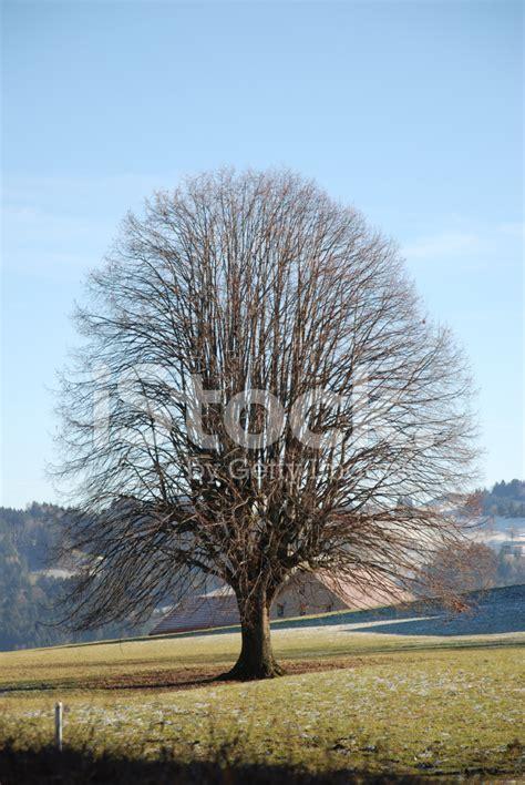 swiss tree tree in swiss alps stock photos freeimages