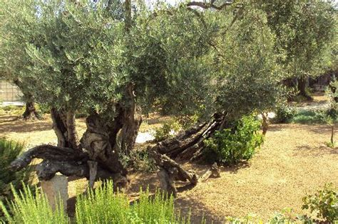 Garden Of Reviews Garden Of Gethsemane Picture Of Garden Of Gethsemane
