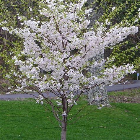 7 cherry tree onlineplantcenter 5 gal 5 ft yoshino cherry tree shop your way shopping earn