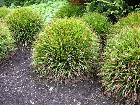 niedrige ziergräser sorten ziergras niedrig pflanzen f 252 r nassen boden