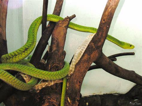 arboreal hunter - nairobi snake park, snakes of kenya ... Arboreal Snakes