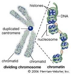 bead like proteins around which dna coils works cited tasks wallyplant