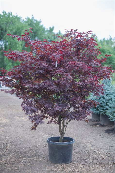 maple tree colorado maple bloodgood japanese for sale in boulder colorado