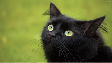black cat black cats wallpapers photos images in hd