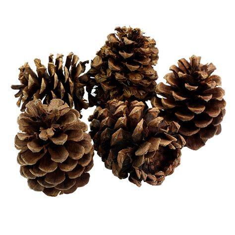 pine cones buy buy the scented large pinecones by ashland 174 at