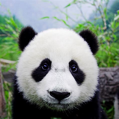 panda china you spent how much a lil of