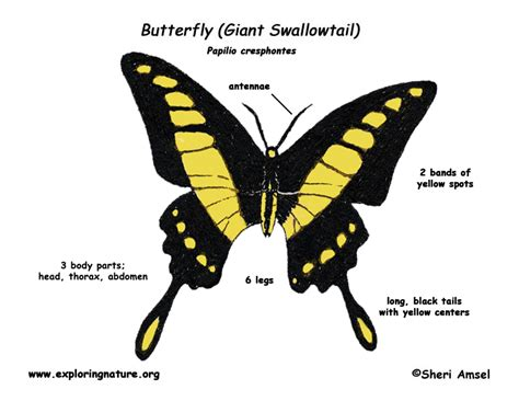 of a butterfly butterfly swallowtail