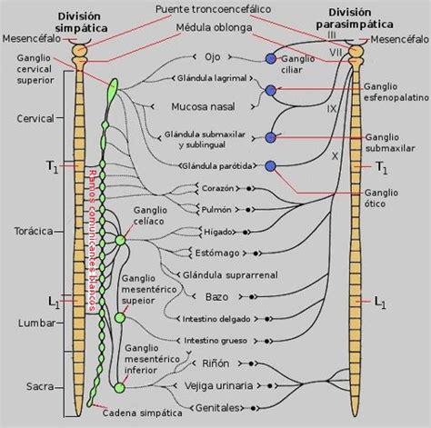cadenas ganglionares slideshare v 237 as aut 243 nomas nervios autonomos