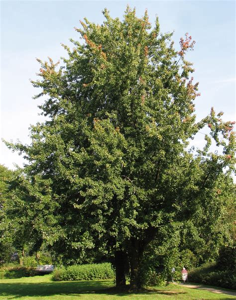 maple tree types acer saccharinum