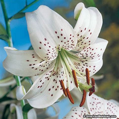 white bulbs tiger bulbs white lilium american