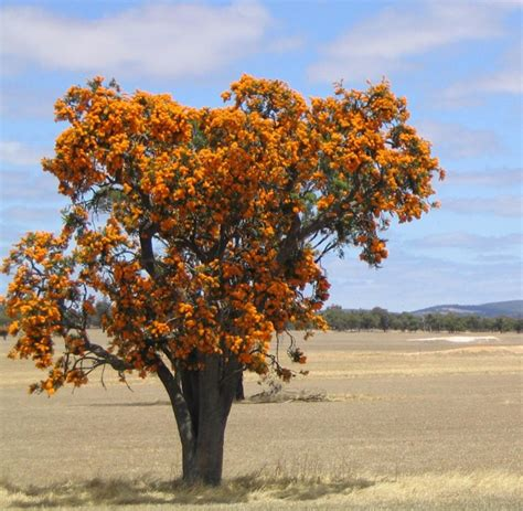 western australian tree trees around walpole wa gardendrum