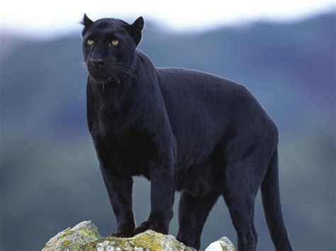 black panther with wings a black panther with