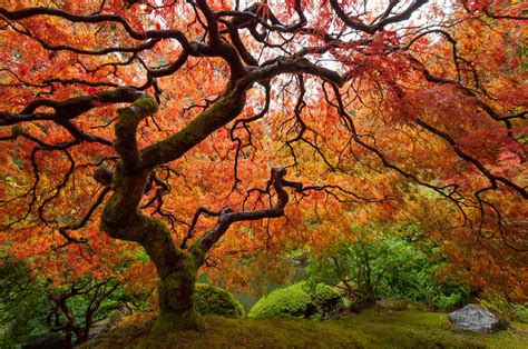 japanese maple tree zone 9 trees that grow in shade