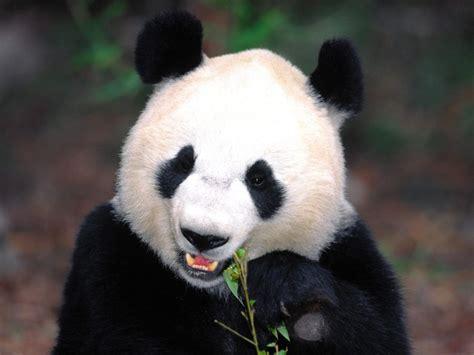 Quotes About Pandas Quotesgram