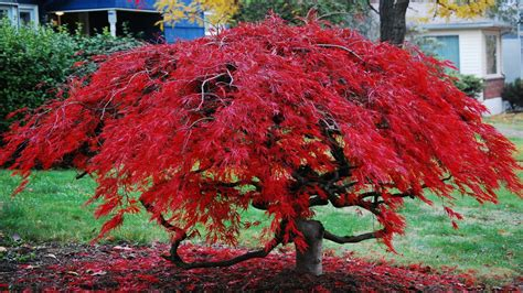 maple tree evergreen bloodgood japanese maple japanese ornamental evergreen trees ornamental japanese maple tree