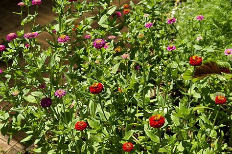 zinnia flower garden zinnia flower garden power of the flower zinnias quot