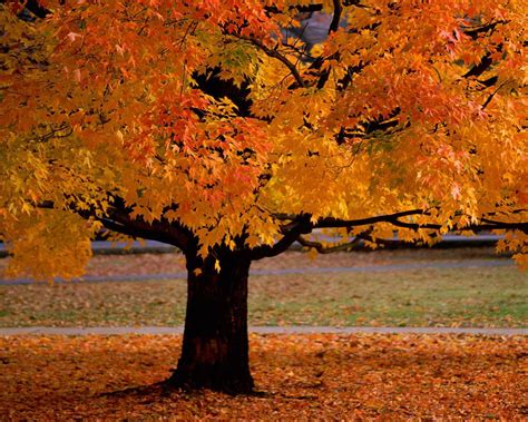 maple tree in fall turning a vague idea into reality step 1 robby robin s journey