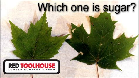 ep50 identifying your sugar maple trees