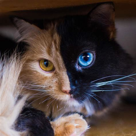 of cat stunning two faced chimera cat quimera