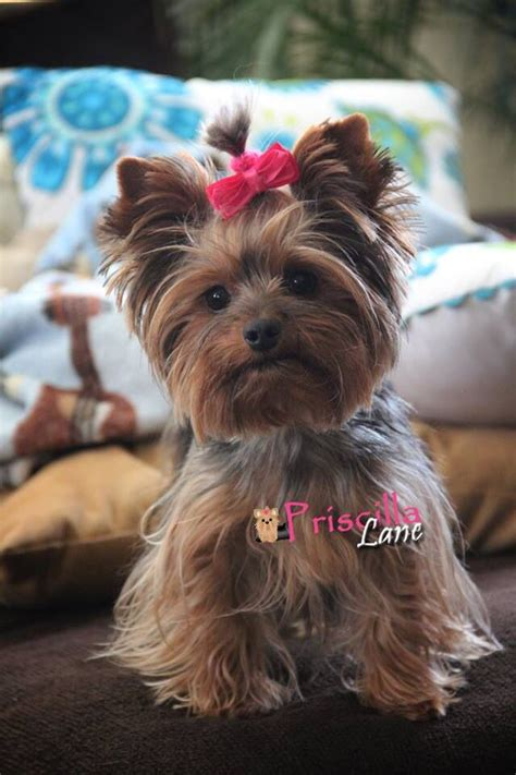 how to cut yorkie hair at home 55 best images about yorkies on pinterest pets puppys