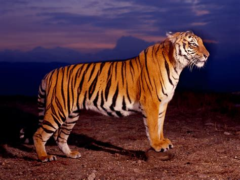 of tiger best 35 bengal tiger pictures and wallpapers