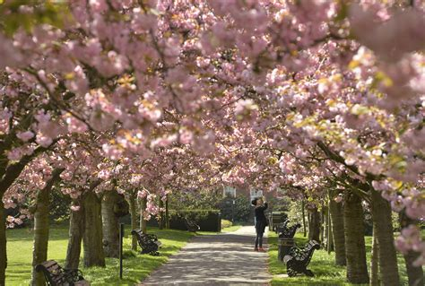 cherry blossoms peak bloom cherry tree flowers attract visitors to parks around the
