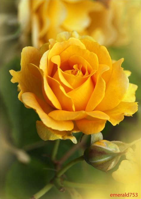 rosary from flowers best 25 yellow roses ideas on