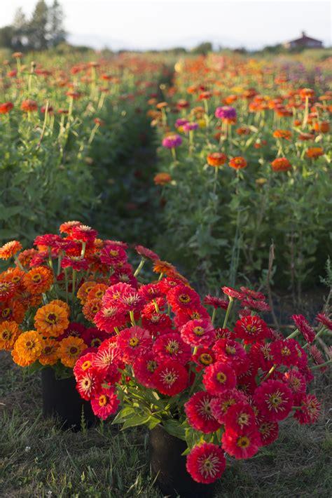 zinnia flower garden flower focus growing great zinnias floret flowers
