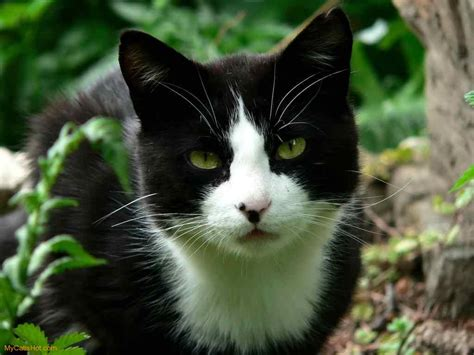 black and white cat moongazer a black and white she cat with a