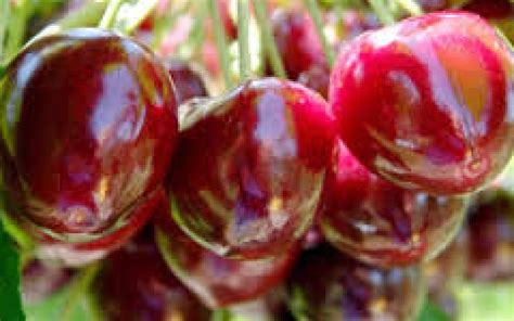 cherry compact stella