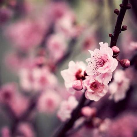 25 best ideas about pink blossom on pink flower photos pink flower pictures and