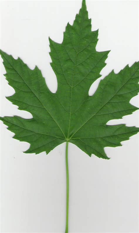 maple tree leaves file silver maple leaf jpg