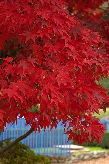 maple tree all year maple trees are so beautiful all year the most beautiful leaves the most beautiful colors