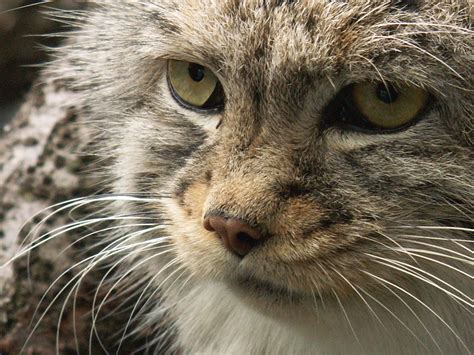 picture of a cat pallas cat by originalspacecowgirl on deviantart