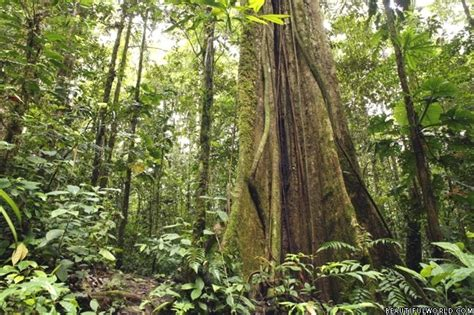 meaning of rubber st forest facts information beautiful world