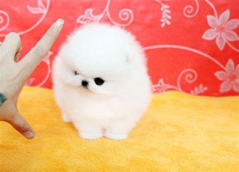 white sale white teacup pomeranian puppies manchester greater