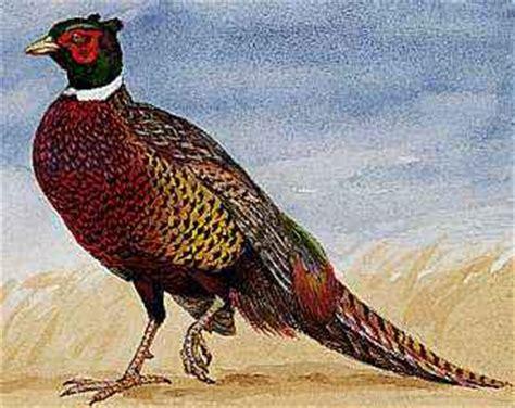 state bird of south dakota ring necked pheasant encyclopedia children s